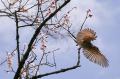 ヒヨドリの春