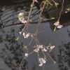 桜、散り、流れ。