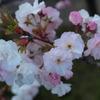 八重桜、横から見るか…
