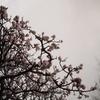 あの日の八重桜