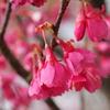寒緋桜の紅