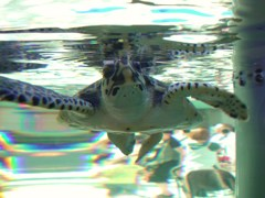 ウミガメ東京を泳ぐ