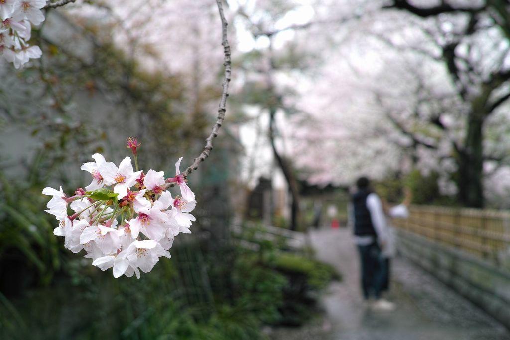 花散らしの雨