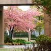 校庭の河津桜