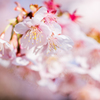 桜の季節④
