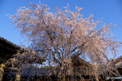 2018_桜4