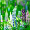 ルピナスの花