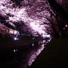 五条川 夜桜 4