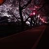 五条川 夜桜 1