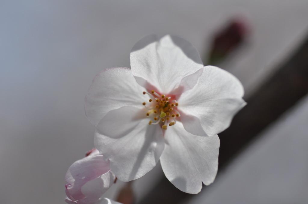 疎水の桜3