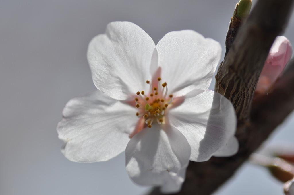 疎水の桜2