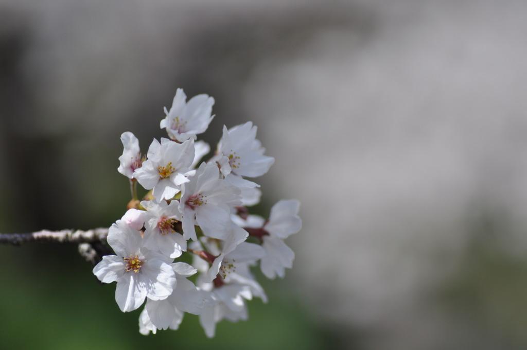 疎水の桜5