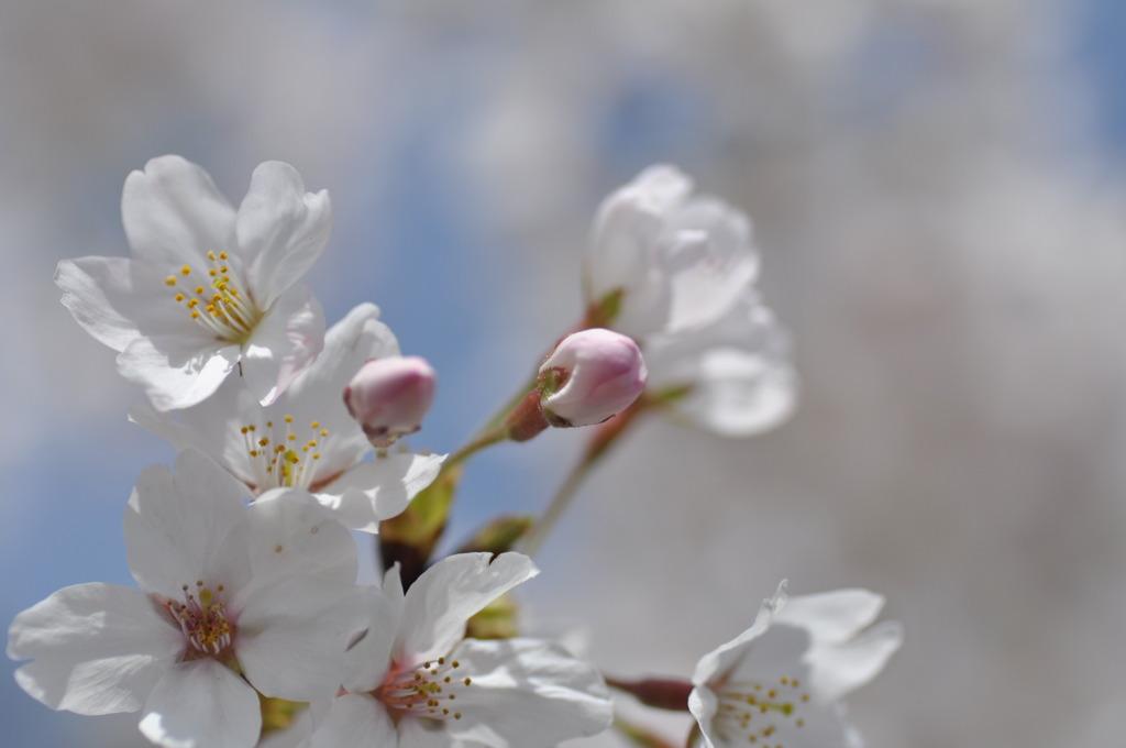 疎水の桜1