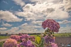 渇水紫陽花
