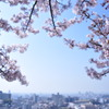 見守り続けた桜