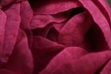 camellia(croquis)