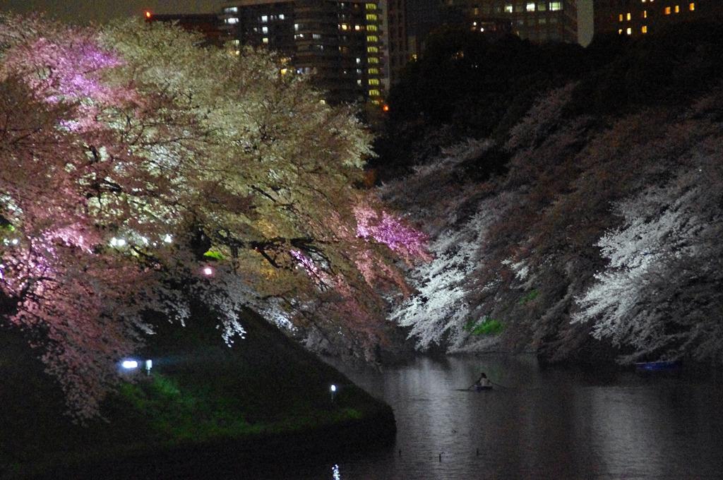 夜桜 in TOKYO