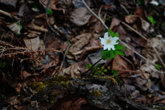 有珠山の野花