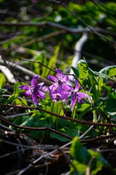 積丹半島の野花