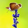蝶々三昧 サルビアの上