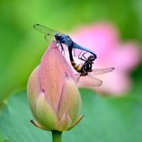 ハス花の恋