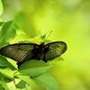 透け翅 緑光に潜む