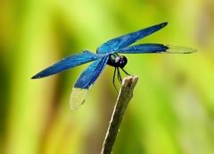 魅惑の翅色 オス翅 ステルス戦闘機