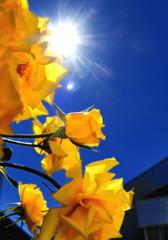 黄バラと太陽