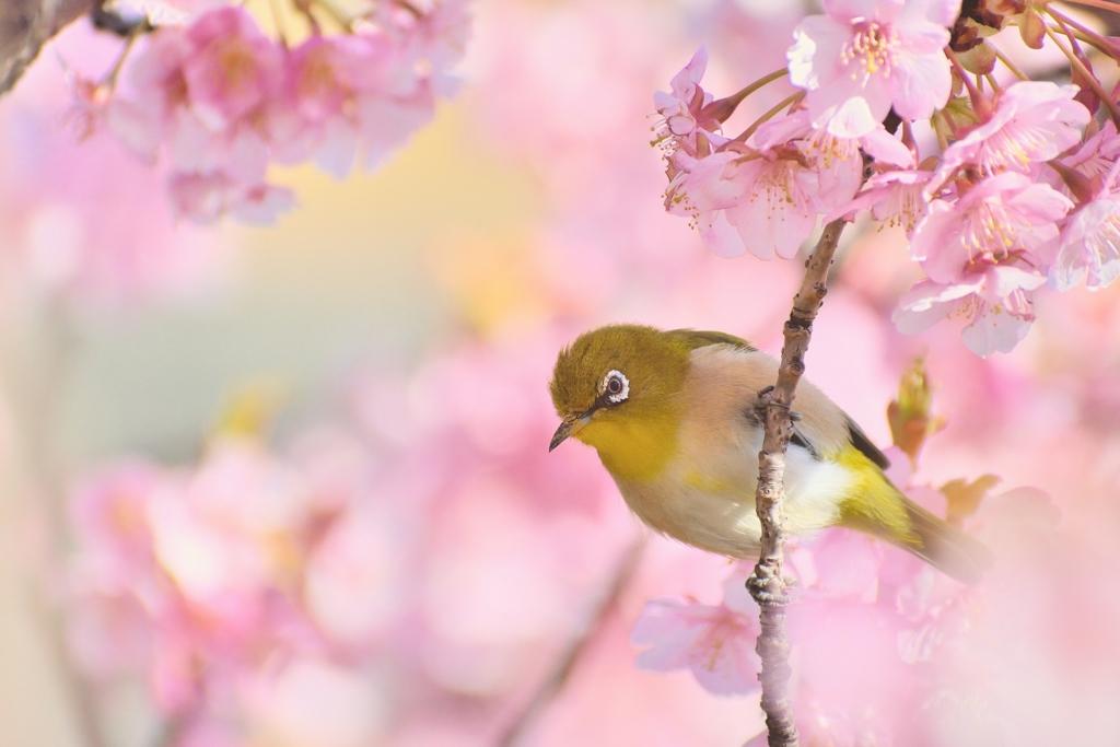 春色めじろ