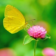 カラー 蝶