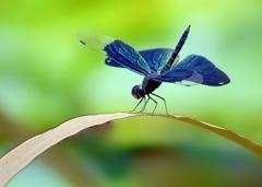 魅惑の翅色 オス翅 得意のポーズ