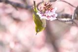 寒桜メジロ