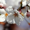 4月3日 sakura