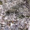 京都 蹴上の桜