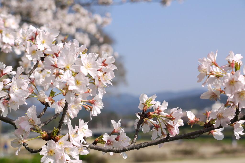 京都 賀茂川の桜(1)