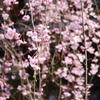 京都 祇園白川の桜