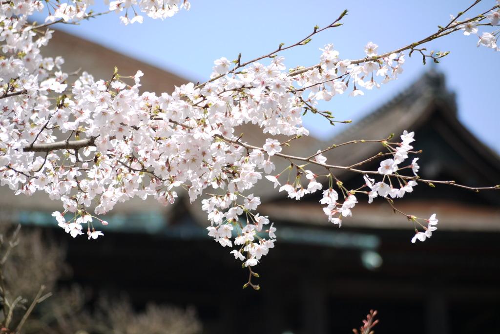 清水寺の桜(2)