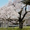 京都の桜 三宝院にて