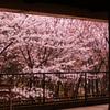 恋しくて桜。