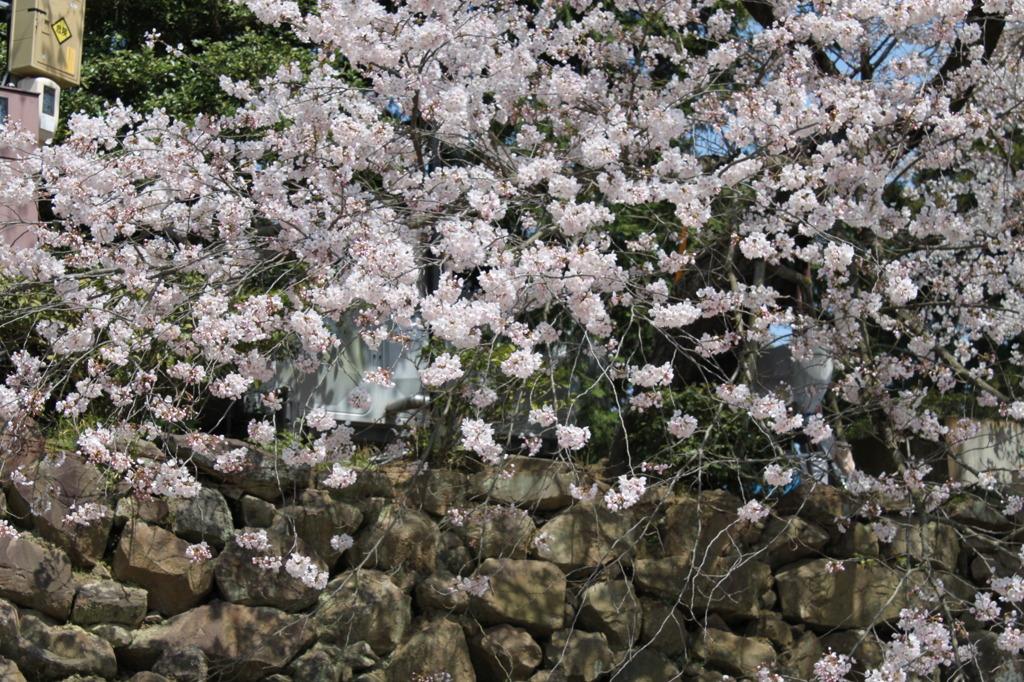 松江城 桜