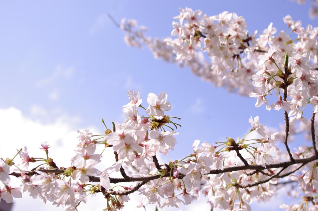桜と青空 その2