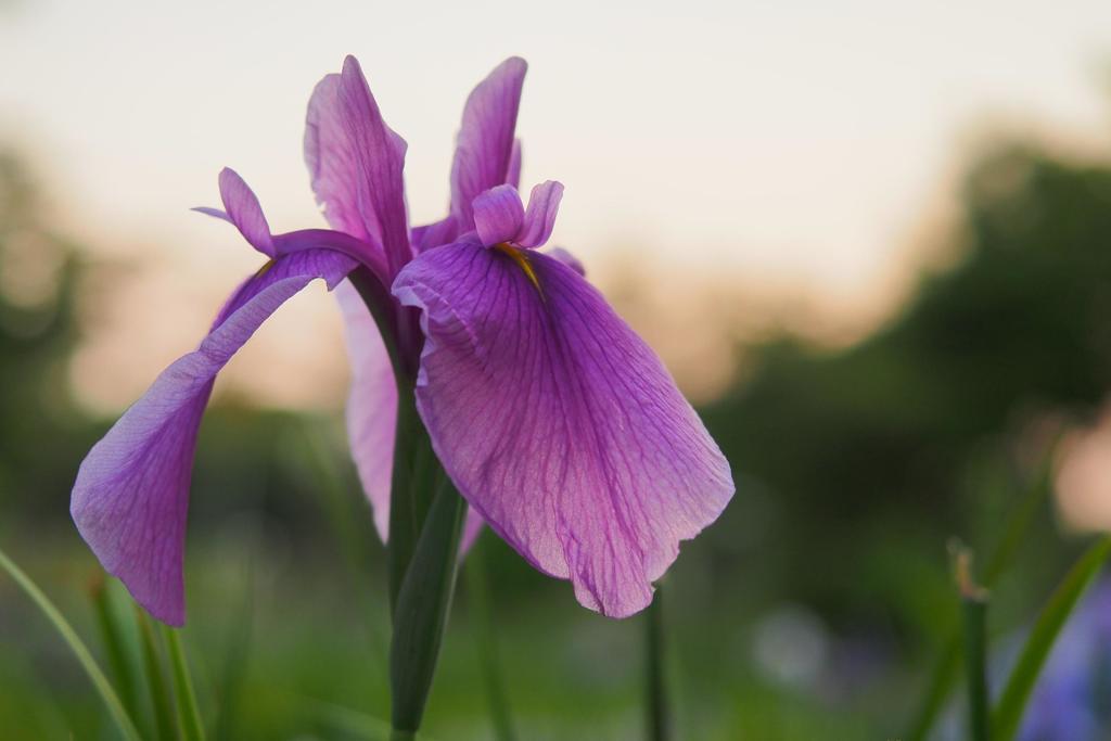暮れなずむ空と花