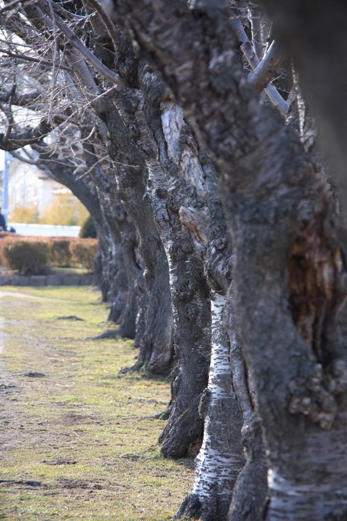 裸の桜並木