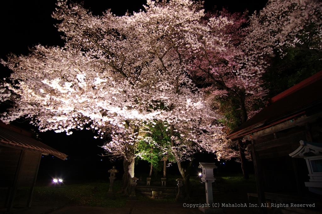 ワニ塚の右奥に見えてた桜に近づいてみた