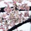 庭先のCherry blossom