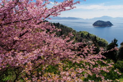 大芝島の河津桜