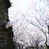 花見散歩06