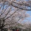 花見散歩05