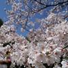 花見散歩03