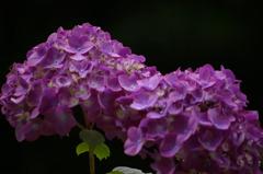 漆黒×淡紫